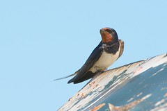 Agape. (stonefaction) Tags: nature birds scotland fife wildlife swallow kingsbarns