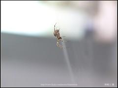Spider Two_26__20151218 () Tags: leica macro four spider olympus 100mm apo f r e third wen wesley 100 28 mm ho dslr makro  f28 ame 520 chen 43  elmarit r100 howen   e520    chenhowen wesleychen leicaapomacroelmaritr100mmf28