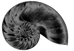 nautilus shell slice, solarized (lisafree54) Tags: blackandwhite nature animal spiral design pattern shell free sealife slice solarized solarization mollusc crosssection nautilus cco oceanlife freephotos