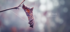 L E A F (* Mel Fisher *) Tags: wood old autumn winter tree nature leaf drops ast december bokeh fresh loch blatt wald baum ait hold halt 2015 wasserperlen fäden stuktur frorest löchrig naturelaover