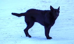 Piloerection (ezigarlick) Tags: dog snow black standing hair manitoba agitated dawsonroad lacoulee dawsontrail piloerection
