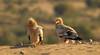 Egyptian vulture (Zahoor-Salmi) Tags: zahoorsalmi salmi wildlife pakistan wwf nature natural canon birds watch animals bbc flickr google discovery chanals tv lens camera 7d mark 2 beutty photo macro action walpapers bhalwal punjab