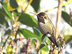 Hummingbird in icy rhododendron. (piranhabros) Tags: wintersun guard male annashummingbird hummingbird roosting nature plant animal rhododendron bird
