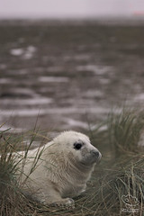 Grey Seal Pup (UK Nature Photography) Tags: greysealpup greyseal seal pup dusk mammal sony sal70300g november dunes beach wildlife wild lincolnshire donnanook