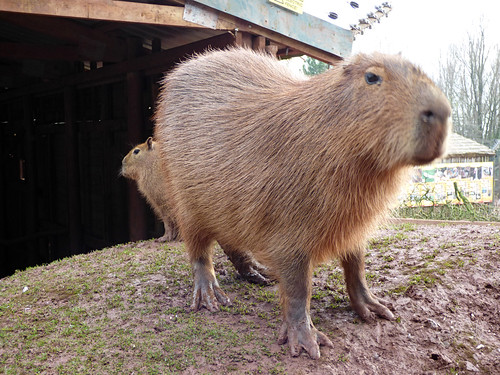 South Lakes Zoo - baby capybara (4)
