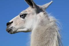 Today view total 5.500.885  Thanks ! (excellentzebu1050) Tags: 2016septzebusoctmaizeharvest llama lama farm animal animalportraits closeup outdoor coth5