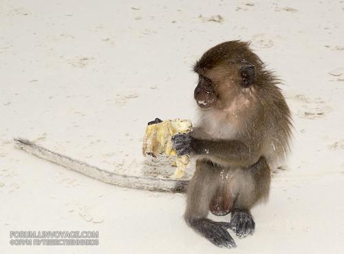Monkey feeding at Monkey beach, Phi Phi island, Thailand, 31 december 2016