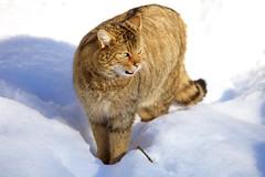 Winter Wildpark (Patrick Semmler) Tags: feldkirch snow european wildcat europäisch wildkatze sigma150600mmsport alps austria