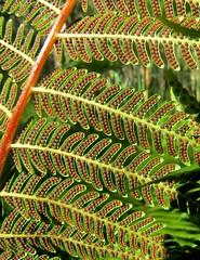 Cyathea leichhardtiana - Prickly Tree Fern (jantrac) Tags: cyathea cyathealeichhardtiana cyatheaceae pricklytreefern arfp nswrfp qrfp vrfp arffern subtropicalarf warmtemperatearf cooltemperatearf