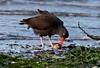 Black Oystercatcher - 094A2480a4c (Sue Coastal Observer) Tags: blackoystercatcher bloy haematopusbachmani blackiespit surrey bc britishcolumbia feeding clam canada ocean