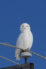 Harfang des neiges  (mâle) 0Q0A0075 (martin_boisclair) Tags:
