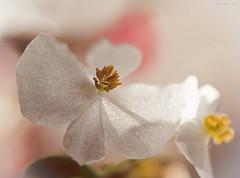 Receiver (oskaybatur) Tags: samayang100macro macro pentxk3 flower closeup dof bokeh nature 2017 oskaybatur january ricoh stamen çiçek türkiye çerkezköy mf justpentax pentaxart