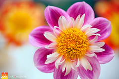 Dahlia-57 (Nualchemist) Tags: flower plant nature simplyflowers petals pink bloom green greenleaves floralphotography dahlia yellow red summer fullbloom botanical bright light floral heavenly macro orange 2016dahliashow colorful white closeup delightful glorious magical soft goldengatepark pretty palepink lightpink enchanting sanfrancisco singleflower cheerful joyful delight california colors palette botanicalgarden organicpattern purple lavender designbynature geometric elementsofdesign silky velvet softlight veil tender flame fire satin translucent