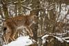 Lynx (Cloudtail the Snow Leopard) Tags: luchs winter schnee snow lynx katze cat feline animal tier säugetier mammal beutegreifer predator pinselohr wildpark bad mergentheim
