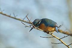 IMG_2838 (Sula Riedlinger) Tags: kingfisher birdwatching bird birds nature wildlife wildlifephotography ukwildlife ukbirding uknature ukbirds urbanwildlife urbannature urbanbirding greaterlondonwildlife londonwildlife commonkingfisheralcedoatthis