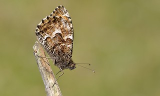 Grayling (Hipparchia semele).