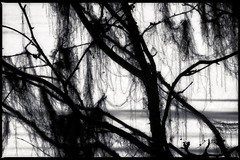 lichens & branches (travelben) Tags: shangrila china yunnan bita lake frozen luopong village lac branche chine abstract contrejour contrast nb bw silhouette lichen nature shangrilacounty branch highcontrast