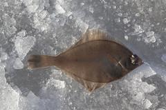 (Beathe) Tags: oslofjord sandebukta ice fishing winter sun holm img1066 flyndre fløndre flounder