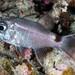 Samoan Cardinalfish - Nectamia savayensis