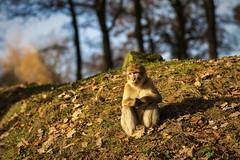 barbary macaque (maaddin) Tags: barbarymacaque macacasylvanus berberaffe naturzoorheine