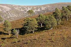 Invereshie-D9100.JPG (MyParkScotland) Tags: woods woodland woodofcaledon trees scotspines scotspine reserve pinussylvestris pinewood pine october2012 october nnr naturereserve nationalnaturereserve invereshied9100jpg invereshiennr invereshie glenfeshie forest digitaljpegs caledonianpine caledon autumn 2012 invereshieandinshriachnnr
