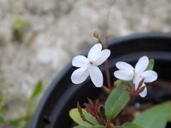 DSCN8589 Flor branca com pintinhas roxas (Daniel Moraes - Bauru-SP) Tags: branca pintas roxas florzinha