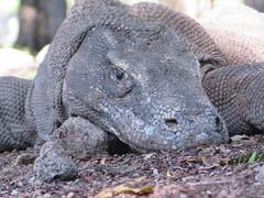 Komodo dragon-Varanus komodoensis