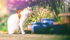 Lens-whacked cat 3 (AlexDMartin) Tags: calico cat garden tortoise shell lens whacking tortoiseshell lenswhacking pet animal