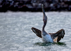 Galapagos-20140714-1636-BK2W3503-Edit-2 (Swaranjeet) Tags: pelican pelicans galapagos ecuador bird largebirds july2014 canon fullframe 1dx eos1dx dslr sjs swaran swaranjeet swaranjeetsingh sjsvision sjsphotography swaranjeetphotography 2014 eos canoneos1dx 35mm ef pro 200400 canonef200400mm canonef200400mmf4lisusm14x singh photographer thane mumbai india indian