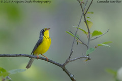 Canada Warbler!! (Anupam Dash Photography) Tags: camera wild canada color bird nature water colors beauty birds clouds canon singing adult wildlife north birding northamerica birdwatching avian anupam wildlifephotographer naturephotography northamericanbirds naturesfinest canadawarbler colourartaward naturecanada canon500mmf4 canon1dmarkiv birdsofontario anupamdash anupamdashphotography