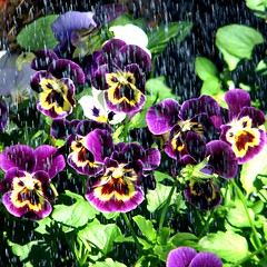 """...light up your face with gladness"" (Marcia Portess (Busy summer)) Tags: flowers summer flores fleur smile garden purple map august agosto pansies summerrain purpleyellow littlegarden purplepansies flowersintherain marciaportess marciaaportess lightupyourfacewithgladness"