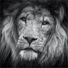 Feeling My Age (Roger Nolan LRPS) Tags: cat lion bigcat smarden wildlifeheritagefoundation bigcatsanctuary