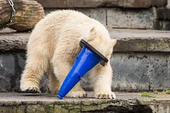 2015-09-19-12h53m37.BL7R2666 (A.J. Haverkamp) Tags: germany zoo polarbear rostock ijsbeer dierentuin mecklenburgvorpommern fiete canonef100400mmf4556lisusmlens httpwwwzoorostockde pobrostockgermany dob03122014