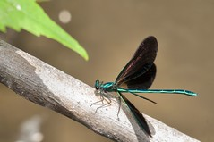 2015  Ebony Jewelwing (Calopteryx maculata) 2 (DrLensCap) Tags: county railroad chicago abandoned robert forest bug way insect spur fly is illinois woods track pacific district union cook trails right an il trail to preserve damselfly kramer ebony weber preserves jewelwing damsel calopteryx maculata labagh of railks