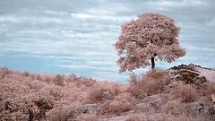 (olymino) Tags: infrared infrarot falschfarben