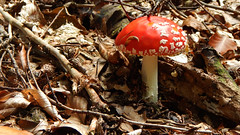 The Cleaner (offroadsound) Tags: red colour mushroom forest snail clean toadstool wald schnecke putzen fliegenpilz wegputzen