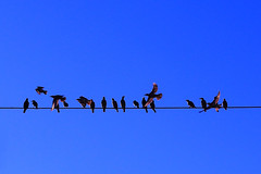 Blue birds blue skies (315Edith) Tags: philippines blueskies earlymorningsun busydays asianglossystarlings