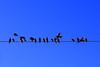 Blue birds blue skies (315Edith) Tags: philippines blueskies earlymorningsun busydays asianglossystarlings