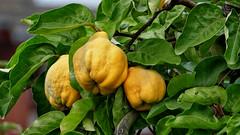 Quitten_02_14102015_15'29 (eduard43) Tags: tree nature fruits natur baum früchte 2015 rafz quitten naturalproducts cydoniaoblonga naturprodukte