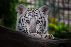 White Tiger Cub (Sandra Wildeman) Tags: autumn portrait automne zoo nikon herbst herfst porträt 70300mm portret tigre bigcats whitetiger dierentuin dierenpark bengaltiger olmen wittetijger olmensezoo bengaalsetijger katachtigen whitetigercub tigredebengale royalbengaltiger tigreblanc d5300