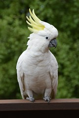 yellow crest (Colin Stansfield) Tags: gold cockatoo crested