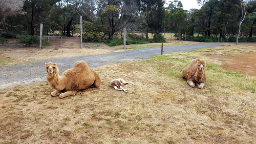 Camels and a camel foal at Werribee zoo
