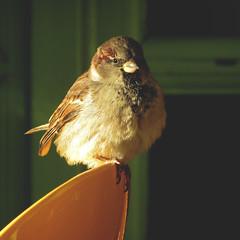 334 • 365 • IV {explore} (Randomographer) Tags: sun sunlight bird animal warm sitting beak feather fluffy explore chilling sparrow alive 365 passer 334 project365