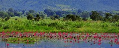 Lotus flowers (kini_b) Tags: burma myanmar inlelake lotusflowers birmania lagoinle