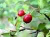 Baie d Aubépine (angelo.cda) Tags: bridge fruit de rouge sony cybershot bois baie valbonne aubépine arbustre dschx1