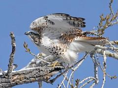 """Krider's"" Red-tailed Hawk (Buteo jamaicensis kriderii) (Ron Wolf) Tags: bird nature colorado wildlife explore raptor redtailedhawk accipitridae kriders accipitriformes buteojamaicensiskriderii rockymountainarsenalnwr"