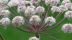 Angelica sylvestris (Apiaceae) (Riimala, Mustasaari, 20150707) (RainoL) Tags: flowers summer plants plant flower finland geotagged july fin angelica 2015 umbelliferae apiaceae mustasaari pohjanmaa umbel etelpohjanmaa angelicasylvestris korsholm rimal 201507 20150707 riimala geo:lat=6293729483 geo:lon=2176097632 pottashagen pundarsskogsvg