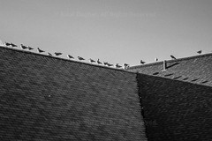 """Rooftop Seagulls (Photographie Alexi """"Alvin"""" Dagher Photography) Tags: pictures summer chimney blackandwhite bw seagulls canada building rooftop lines birds clouds contrast standing photography day pattern sitting photographer shadows quebec photos pics many montreal shingles silhouettes sunny bluesky diagonal alvin bnw caban 2015 dramaticlight shindles ©alexidagher"""