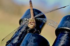 Dragonfly / Libelle (heiko.moser (+ 10.600.000 views )) Tags: dragonfly libelle insekt insect insetto tier tiere animal animale fauna natur nature natura nahaufnahme closeup color outdoor heikomoser