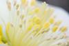 It's Alive. (sdupimages) Tags: macro yellow jaune fleur flower ericsmithii x helleborus itsalive macromondays